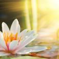 4172_kartina-tsvetok-lotosa