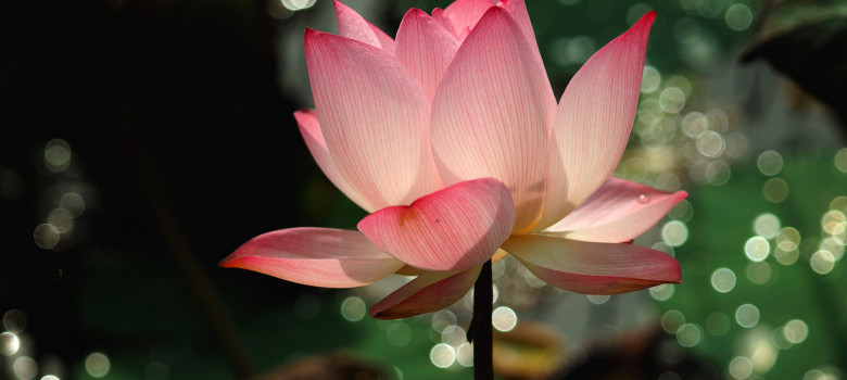 lotos-fon-svet-tsvetok